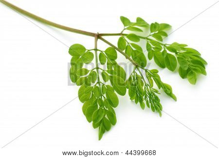 Edible moringa leaves