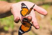 stock photo of leopard  - The leopard lacewing  - JPG