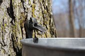 picture of maple syrup  - Close up of a droplet of sap flowing from the maple tree into a pail to make pure maple syrup - JPG