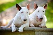 Постер, плакат: две белые английский бык терьер собак