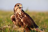 stock photo of falcon  - Falcon on field at a sunset light - JPG