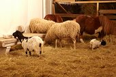 picture of headstrong  - Goat sheep and pony in the stable farm - JPG