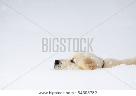 Winter Labrador Retriever Puppy Dog
