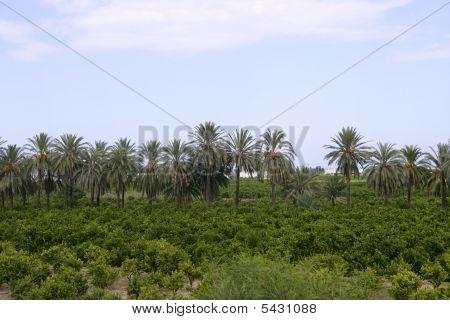 Palm Trees In An Mediterranean Orange Tree Field