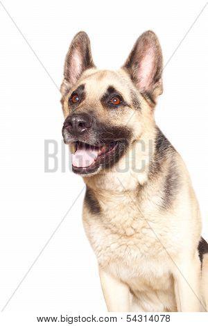 Alsatian Dog