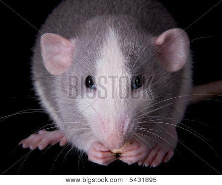 Munching Rat