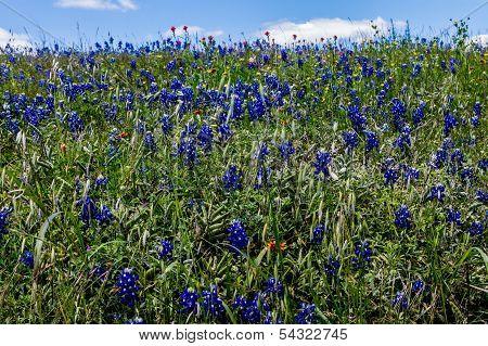 Texas Bluebonnet Wildflowers