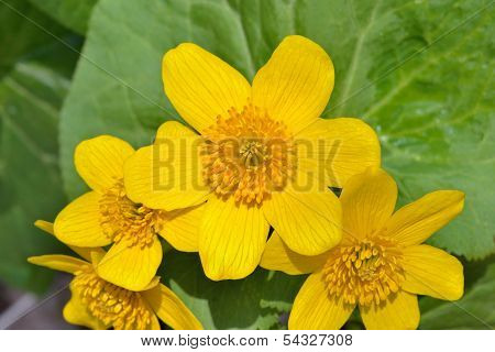 Kingcup Yellow Flowers