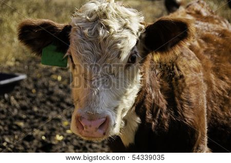 Portrait Of A  Hereford Calf