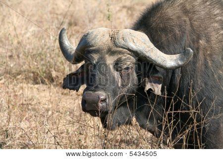 Cape Buffaloe