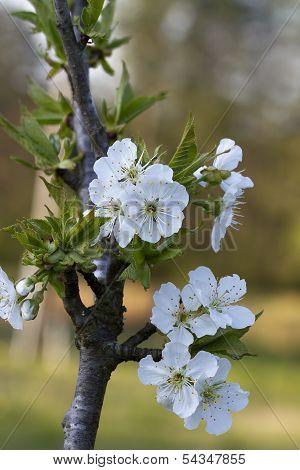 Bing Cherry Tree - Prunus avium