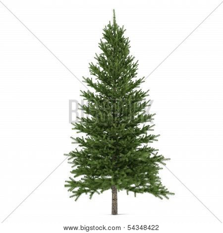 Tree isolated. Pinus fir-tree