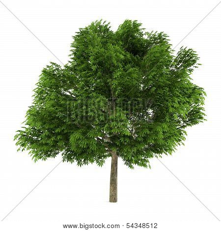 Tree isolated. Aesculus glabra
