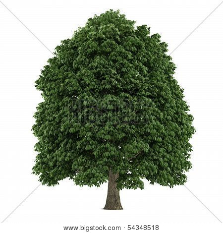 Tree isolated. Aesculus chestnut
