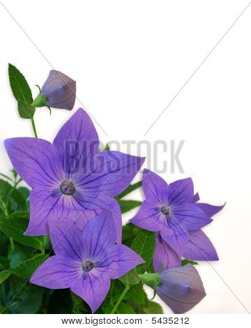 Blue Balloon Flowers 2A Copy