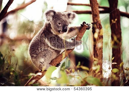 Koala Bear on a tree