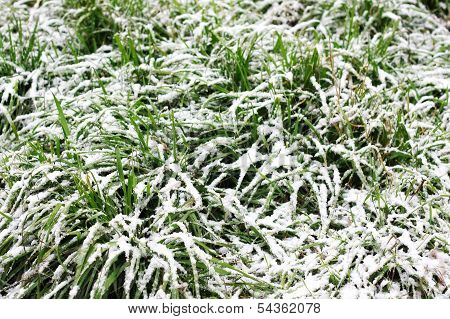 Long Green Grass Covered In Snow
