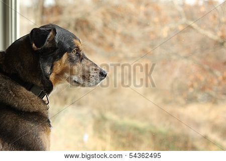 German Shepherd Mix Dog Looking Out Window