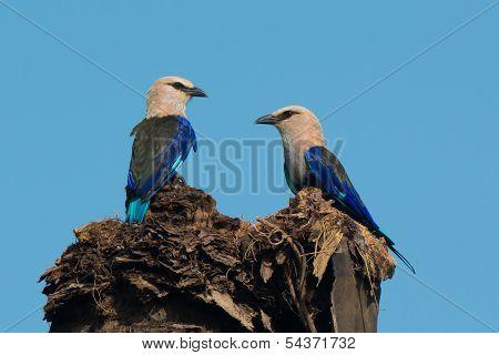 2 Blue-bellied Rollers