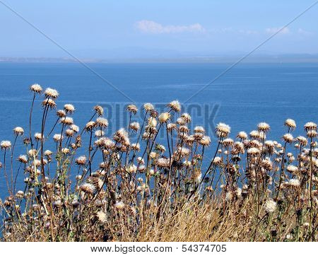 Dry Flowers On A Background Of The Sea Of Marmara