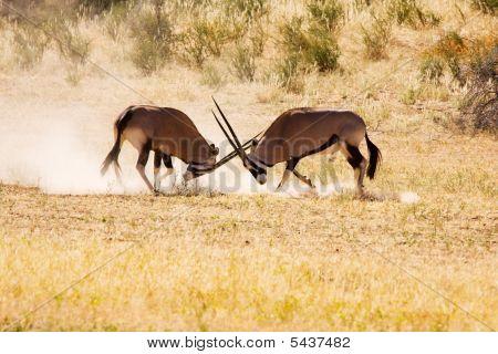 Two Gemsbok Antelope Males Fighting