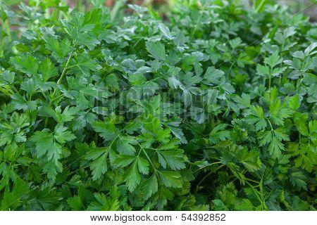 Herb Of Parsley