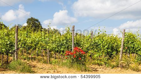 Tuscany Wineyard