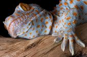 stock photo of tokay gecko  - A tokay gecko is shown up close on some driftwood - JPG