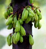 image of south east asia  - Bilimbi fruits of South East Asia in a plant - JPG