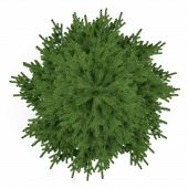 stock photo of pinus  - Tree isolated - JPG