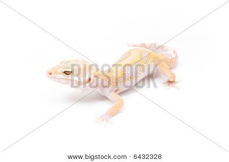 Jungle Tangerine Tremper Albino Leopard Gecko