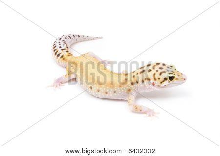 Eclipse Leopard Gecko
