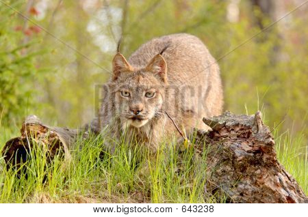 Lynx Canadensis Stalking