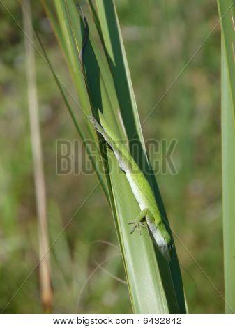 Green Lizard Big
