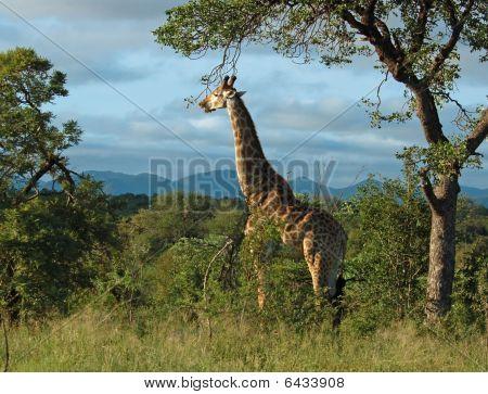 Giraffe In Africa