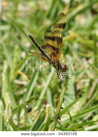 Halloween Pennant Dragonfly on Blade of Grass