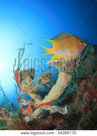 Damselfish and sponge on underwater coral reef