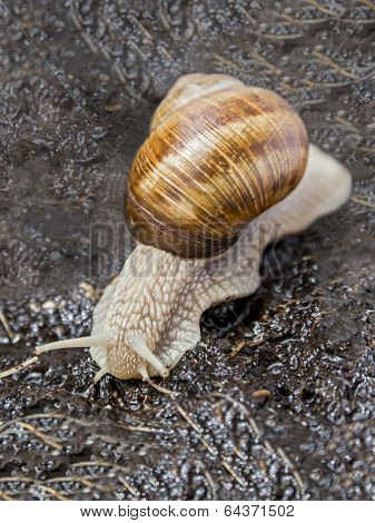 Burgundy snail in a garden after rain