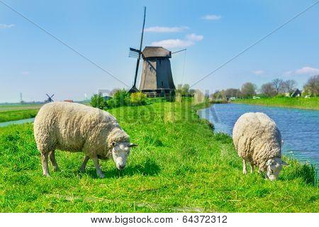 Sheep grazing near a dyke in the Netherlands