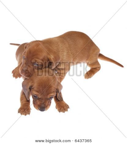 Dachshund Puppies 05
