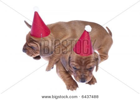Dachshund Puppies 06