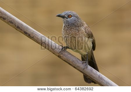 Brown Babbler Perched On A Branch