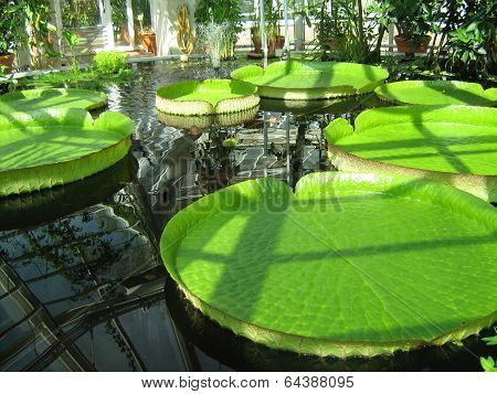 Giant water lily leaves