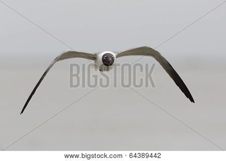 Laughing Gull In Flight - Texas