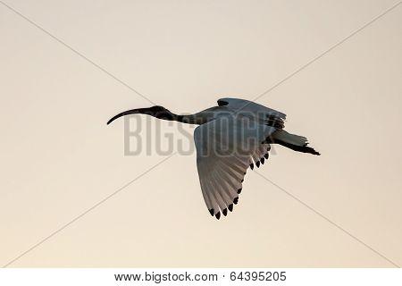 Australian White Ibis (threskiornis Moluccus) Flying At Sunset