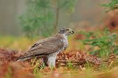 pic of goshawk  - Photo of northern goshawk on the ground - JPG