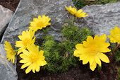 image of adonis  - Flowers adonis blossoming in the garden in early spring
