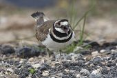 foto of killdeer  - Killdeer  - JPG