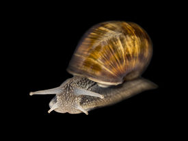 stock photo of hermaphrodite  - Burgundy snail, isolated, with a black background