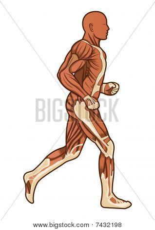Running Human Anatomy Vector